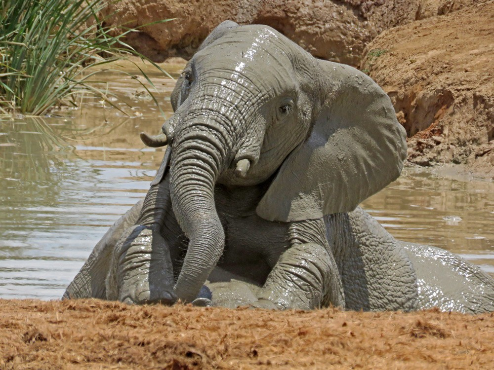 addo-muddy-elephants-trevor-mare