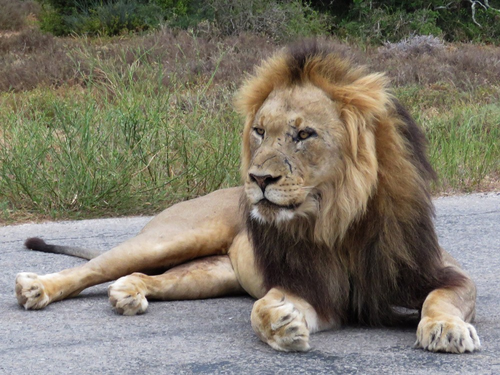 addo-national-park-lions-trevor-mare