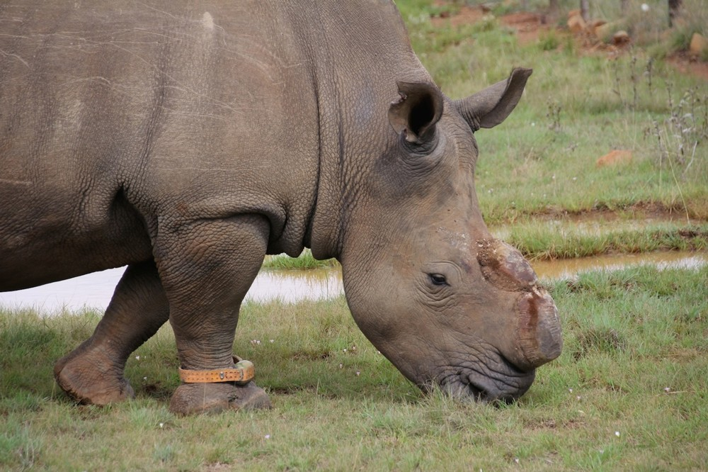 dehorned-rhino-bull-private-game-reserve