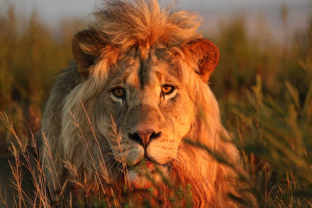gondwana-game-reserve-lion