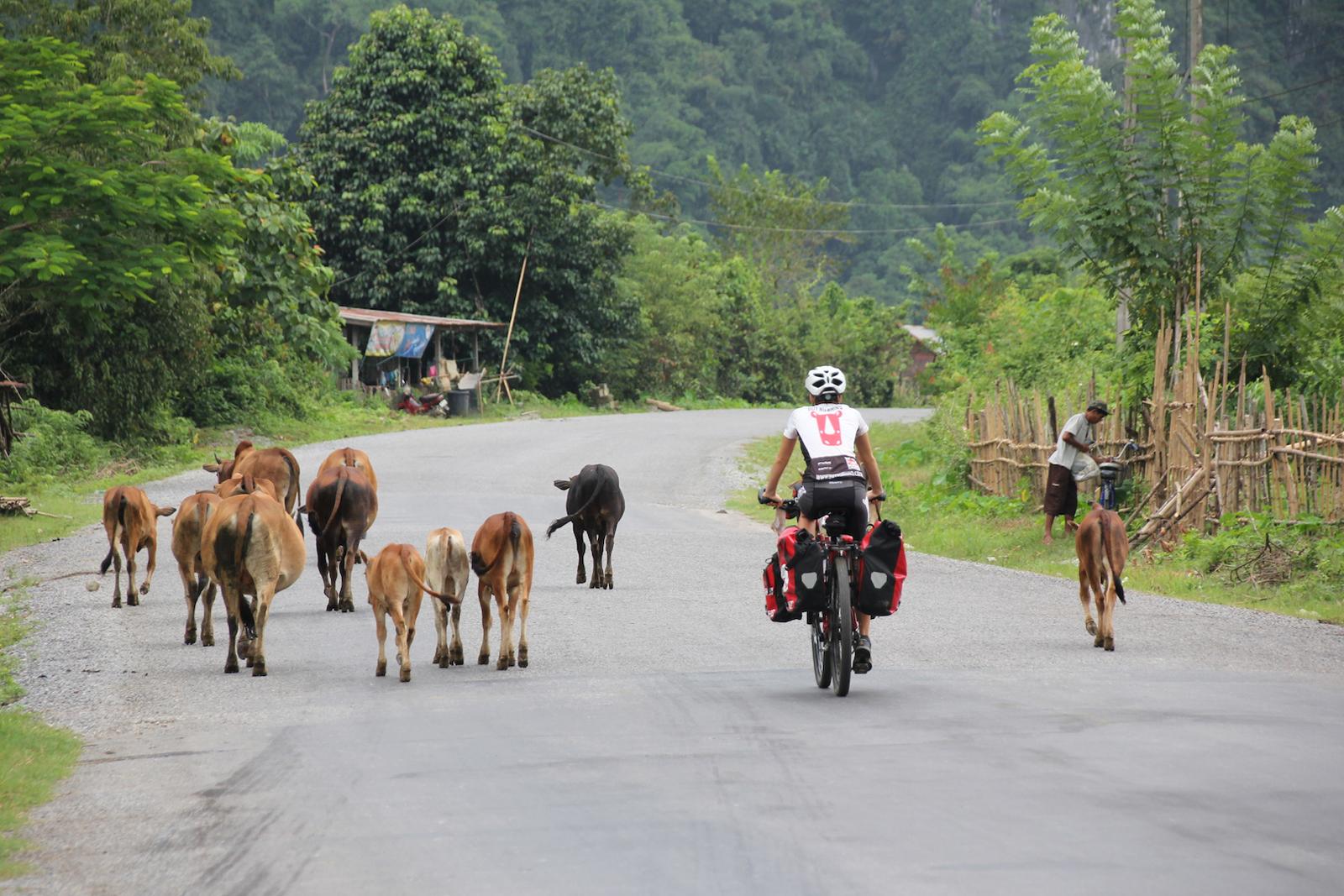 cycling-asia-cows-buy-no-rhino