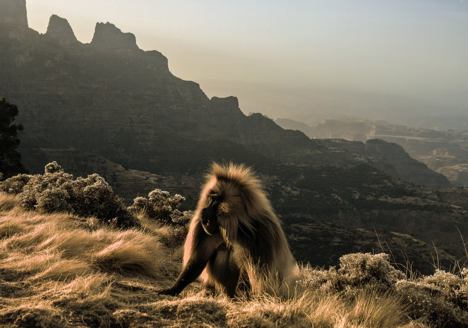 A gelada monkey sits pretty in the Simien Mountains ©Limalimo Lodge