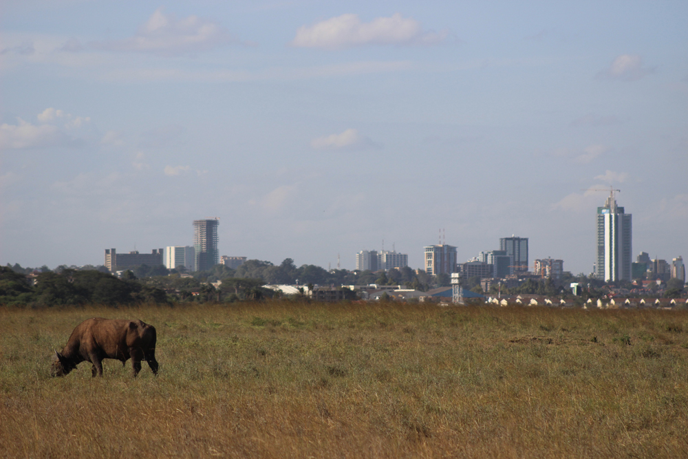buffalo-nairobi-national-park