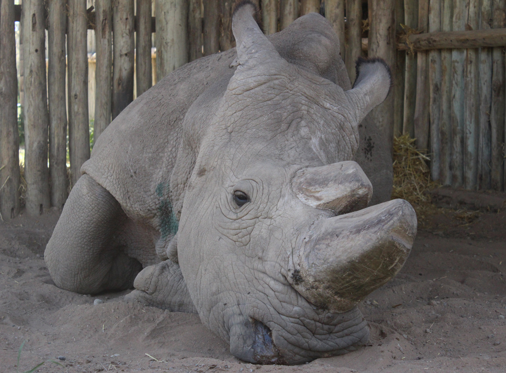 42-year-old Sudan - the world's oldest northern white rhino ©David Winch