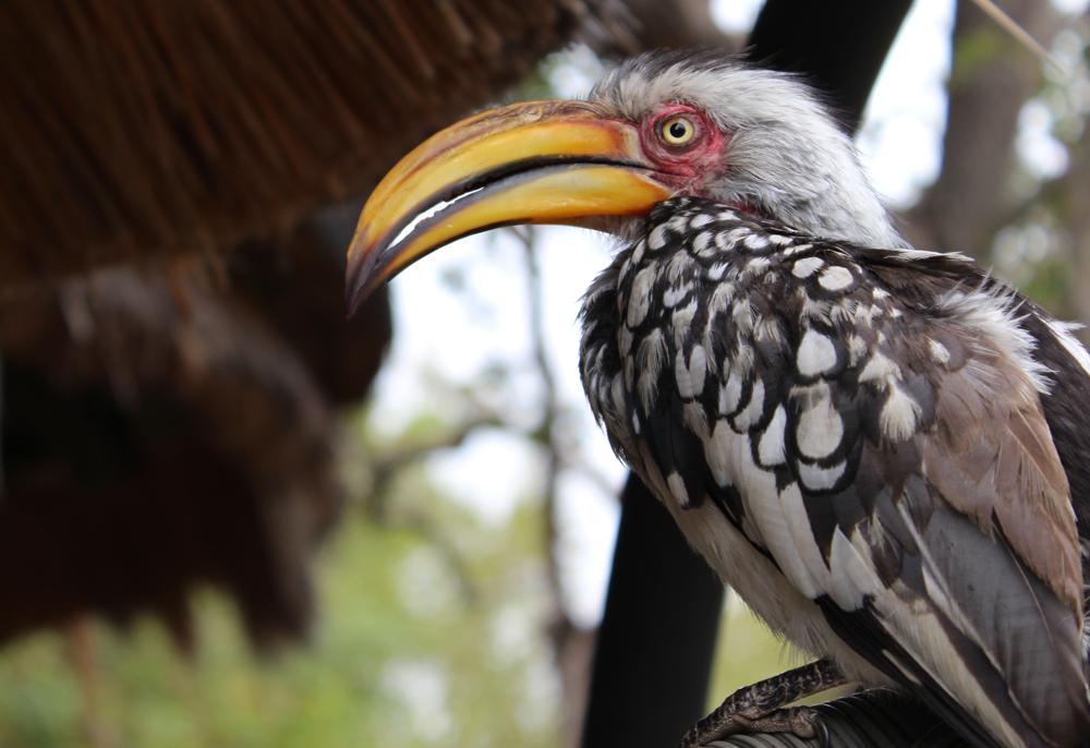 hornbill-tintswalo