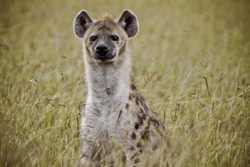 hyena-maasailand-stuart-butler