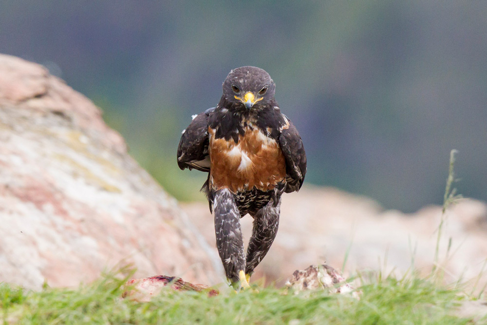 A jackal-buzzard takes a walk to clear his mind in Giants Castle, South Africa©Clint Ralph