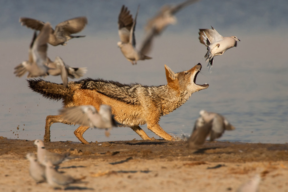 A jackal catches doves in Etosha ©Johan J Botha