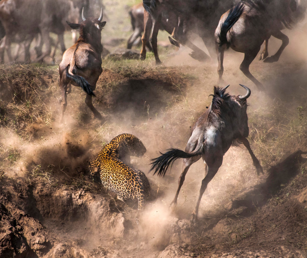 Chaos ensues in the Maasai Mara National Reserve, Kenya ©Paolo Torchio