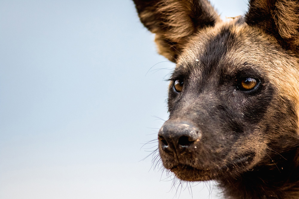 A wild dog shows off his best side in Selous Game Reserve ©Jeff Trollip