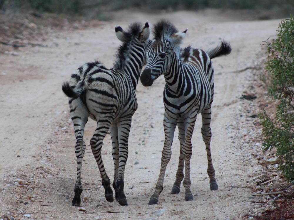 zebra-foals-umlani-kelly-winkler