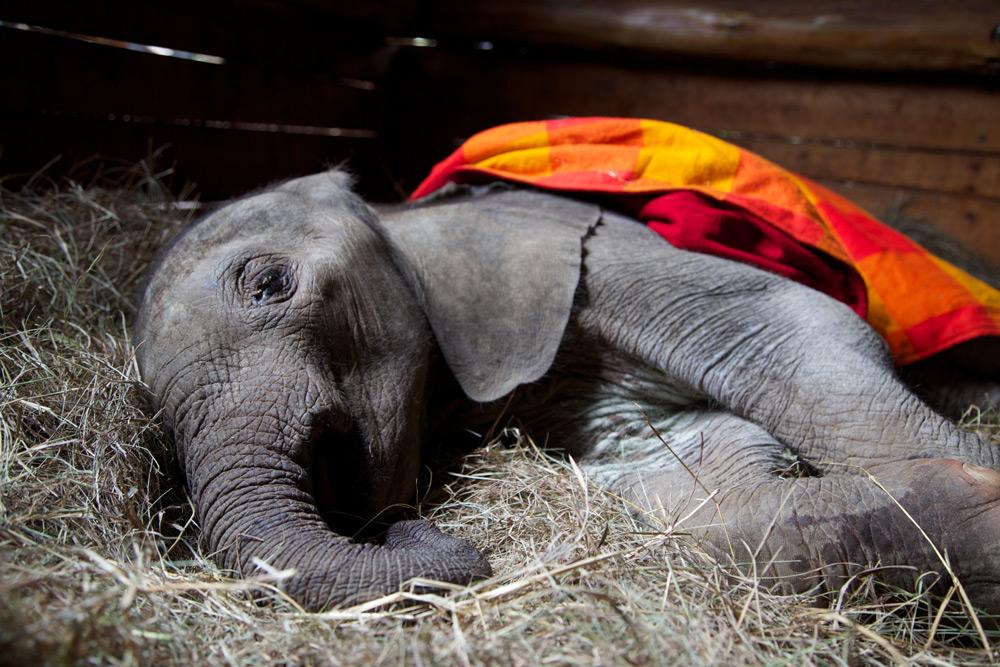 baby-elephant-murit-copyright-the-david-sheldrick-wildlife-trust