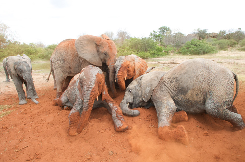 A group of elephants make friends at the Ithumba Reintegration Centre ©The David Sheldrick Wildlife Trust