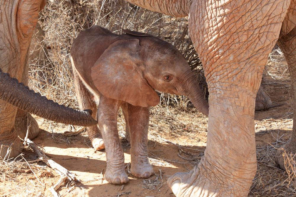 Wiva finds shade under her mum ©The David Sheldrick Wildlife Trust