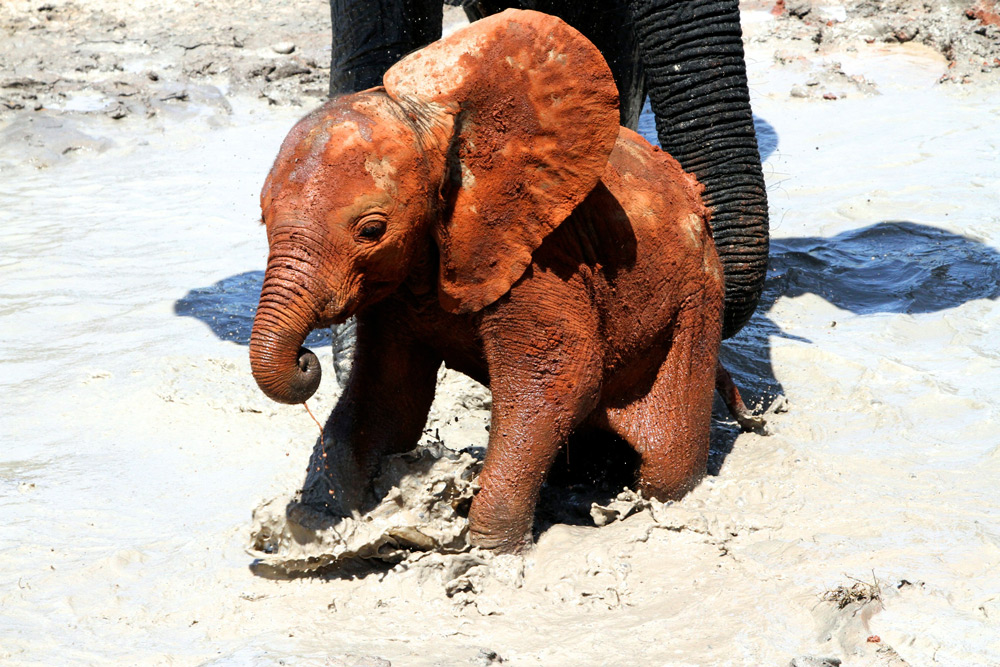 A muddy little elephant called Yetu ©The David Sheldrick Wildlife Trust
