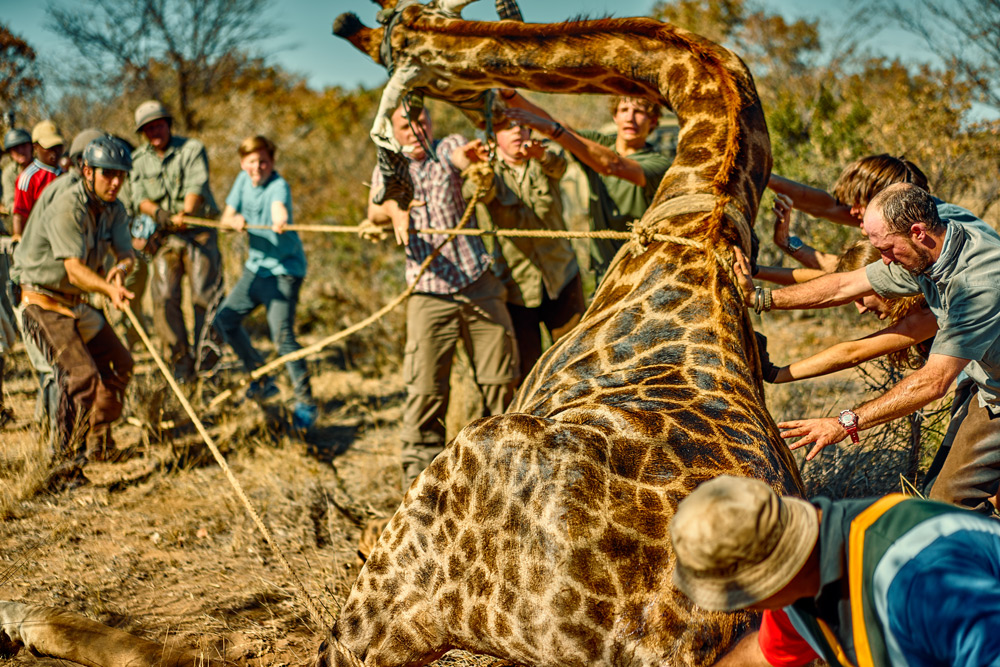 giraffe-relocation-the-ant-collection