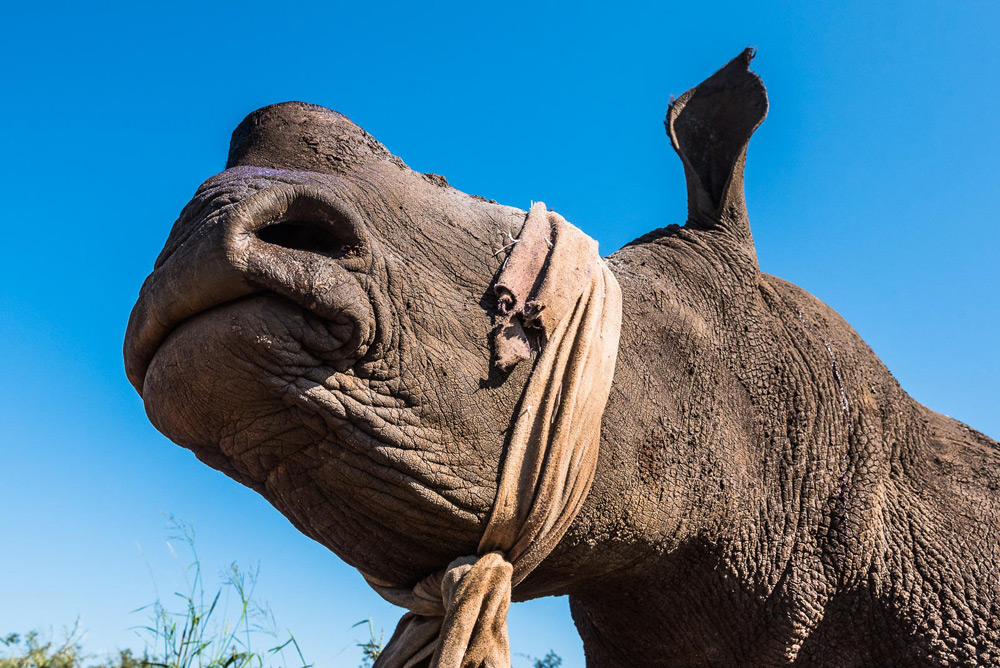 blindfolded-dehorned-rhino-peter-chadwick