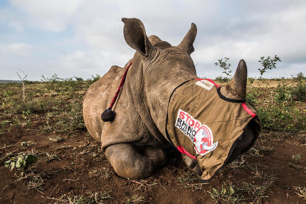blindfolded-rhino-peter-chadwick