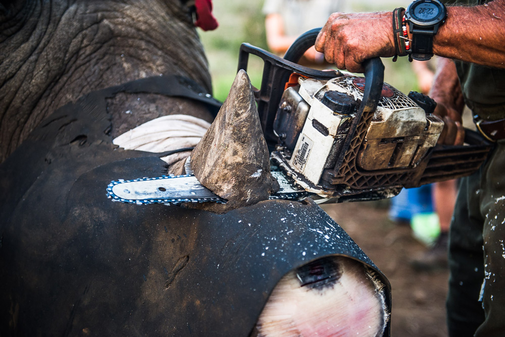 cutting-rhino-horn-with-chainsaw-peter-chadwick