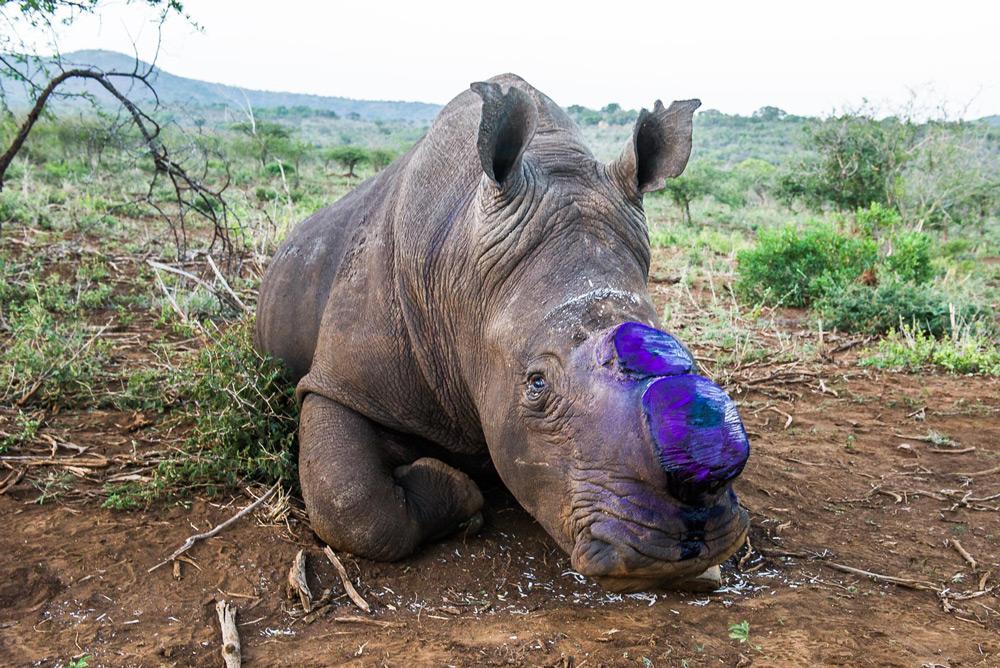 dehorned-rhino-peter-chadwick