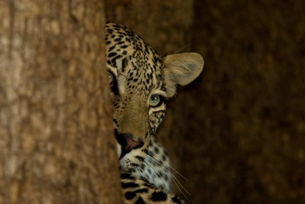 leopard-behind-tree