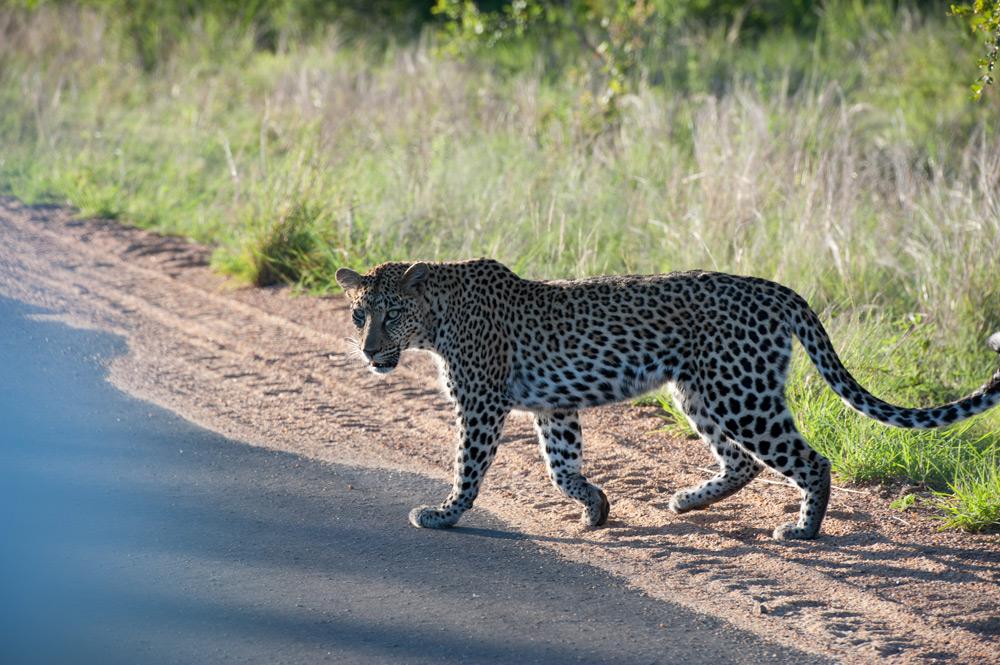 leopard-walks-across-road
