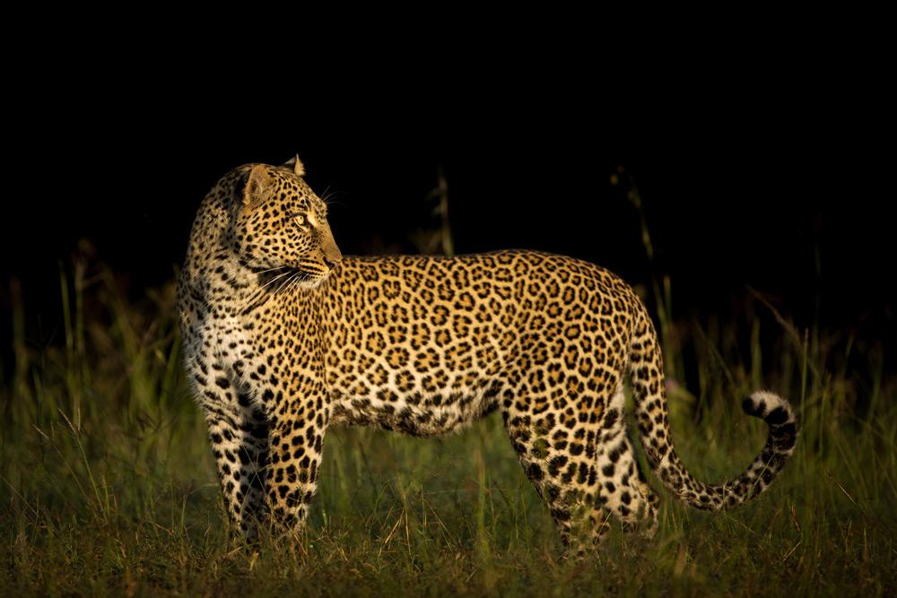 leopard-evening-maasai-mara