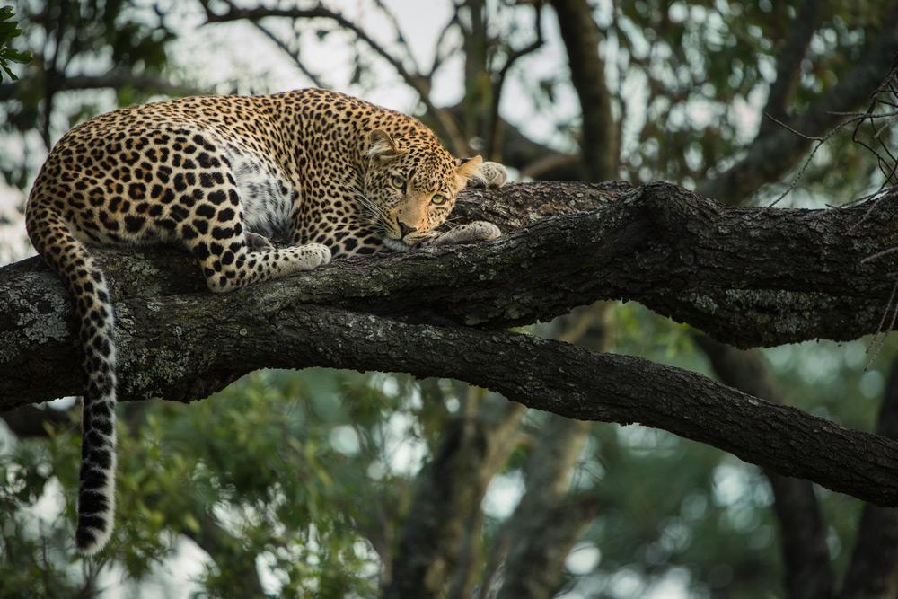 leopard-in-tree-maasai-mara