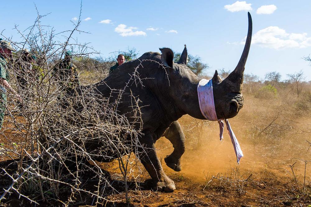 rhino-long-horn-peter-chadwick