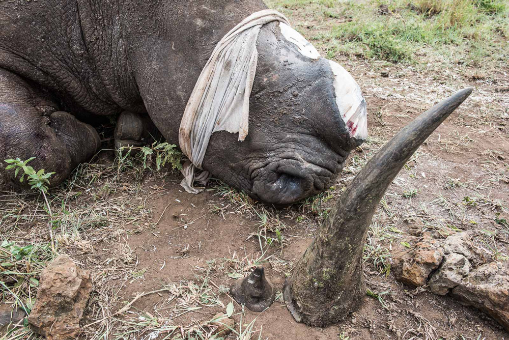 rhino-with-detached-horn