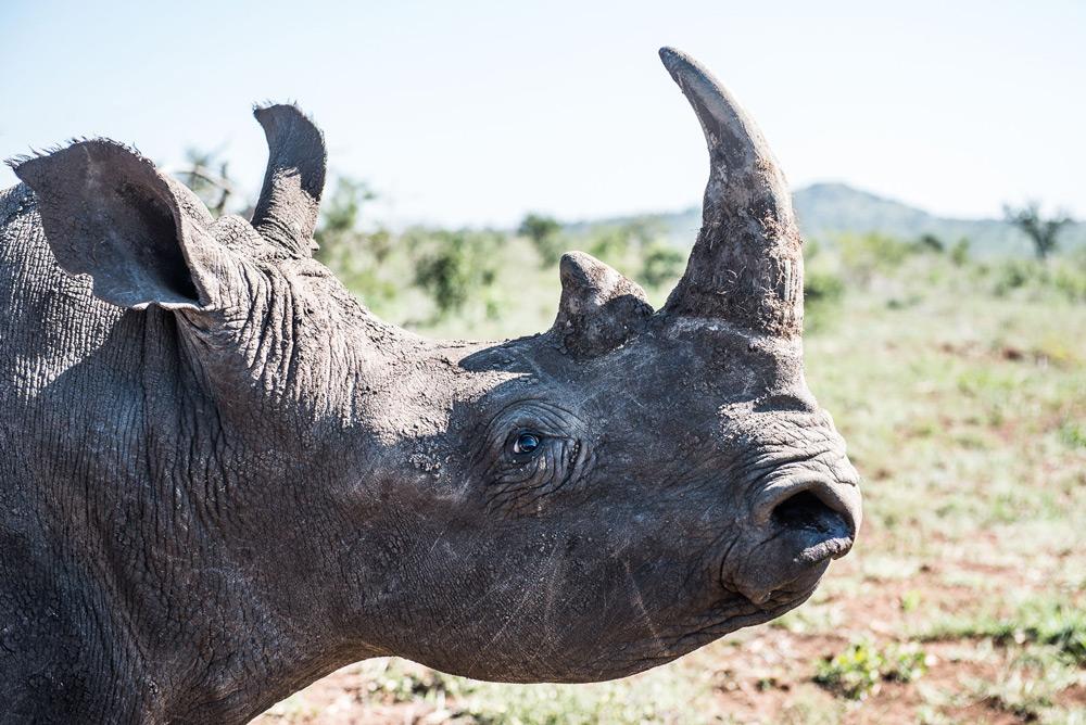 side-profile-rhino-peter-chadwick