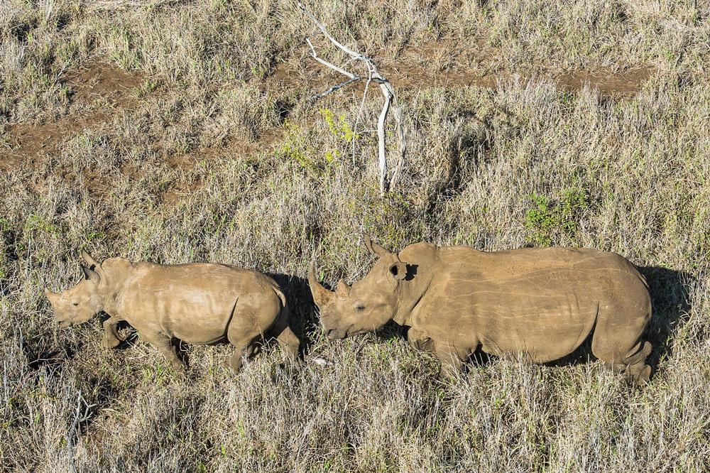 two-rhinos-peter-chadwick