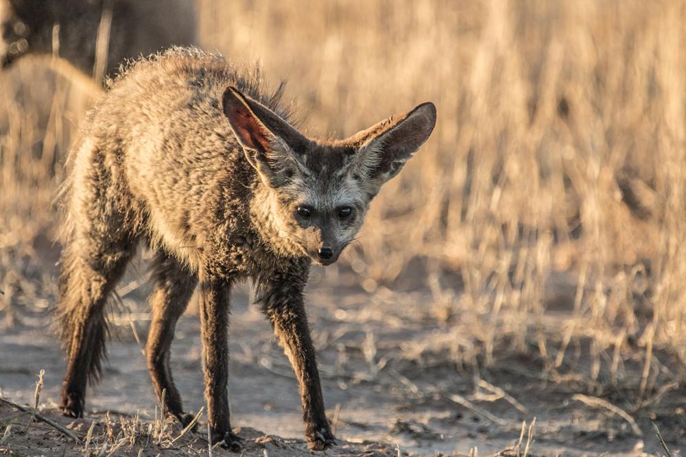bat-eared-fox-kgalagadi-samuel-cox