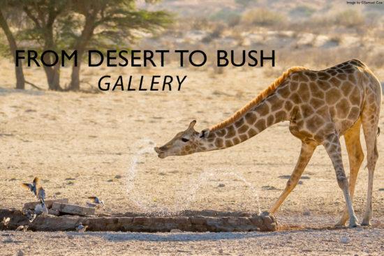 giraffe-desert-to-bush-gallery