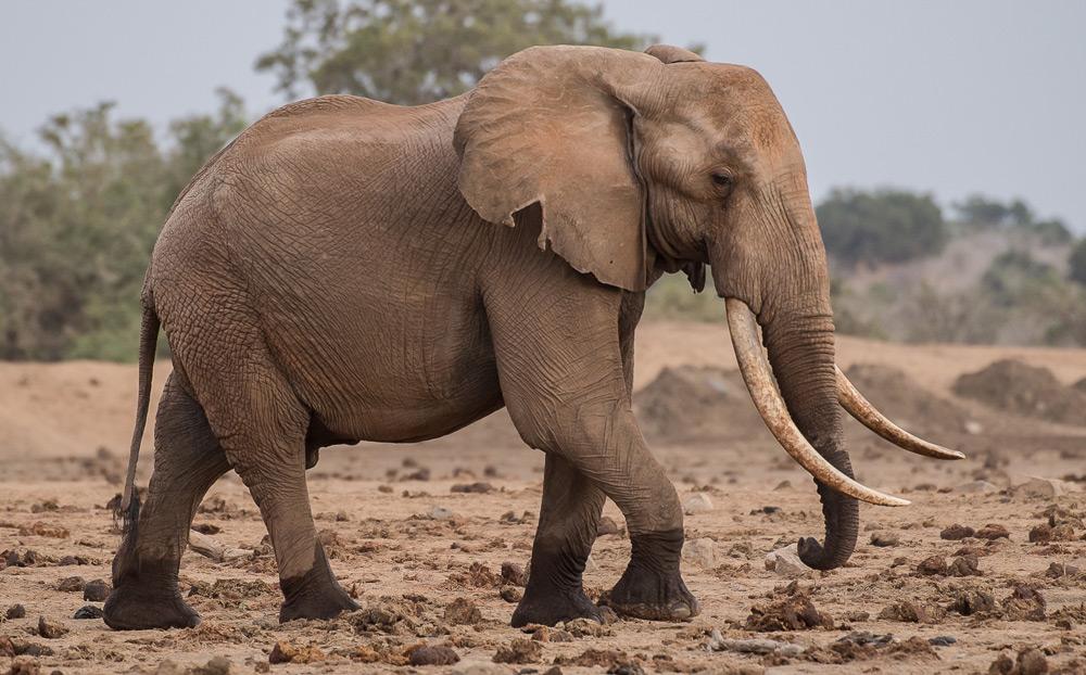 side-profile-elephant-tsavo