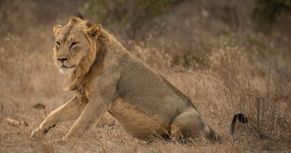 tsavo-lion