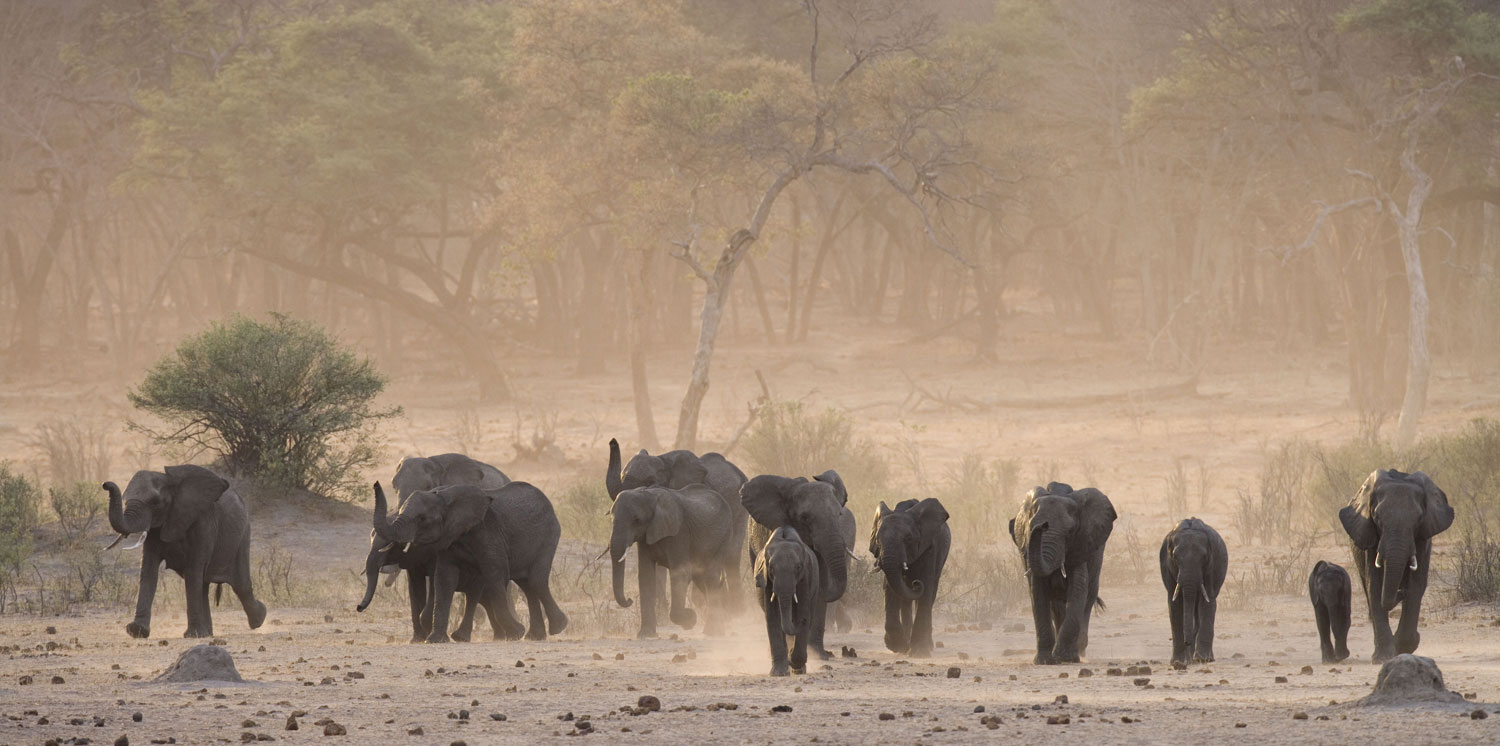 Young elephants kicking up dust in Hwange © Sue Flood