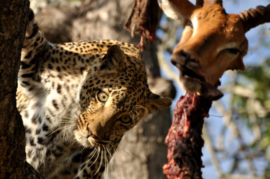 1-charlotte-krag-leopard-in-tree-with-dead-impala-sabi-sand