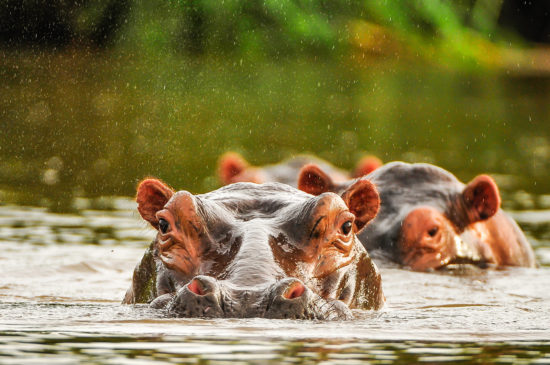 15-hippos-in-kanyemba-drifting-down-the-zambezi-river-andy-lowe