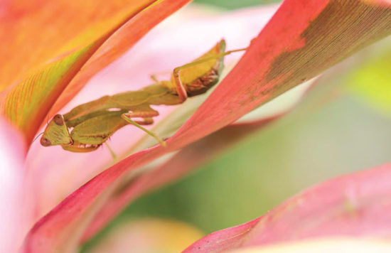 6-Brina-Brint-Praying-mantis