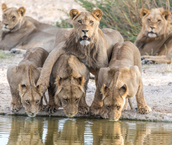 9-brothers-in-arms-in-the-khutse-game-reserve-at-the-molose-waterhole-leon-emanuel