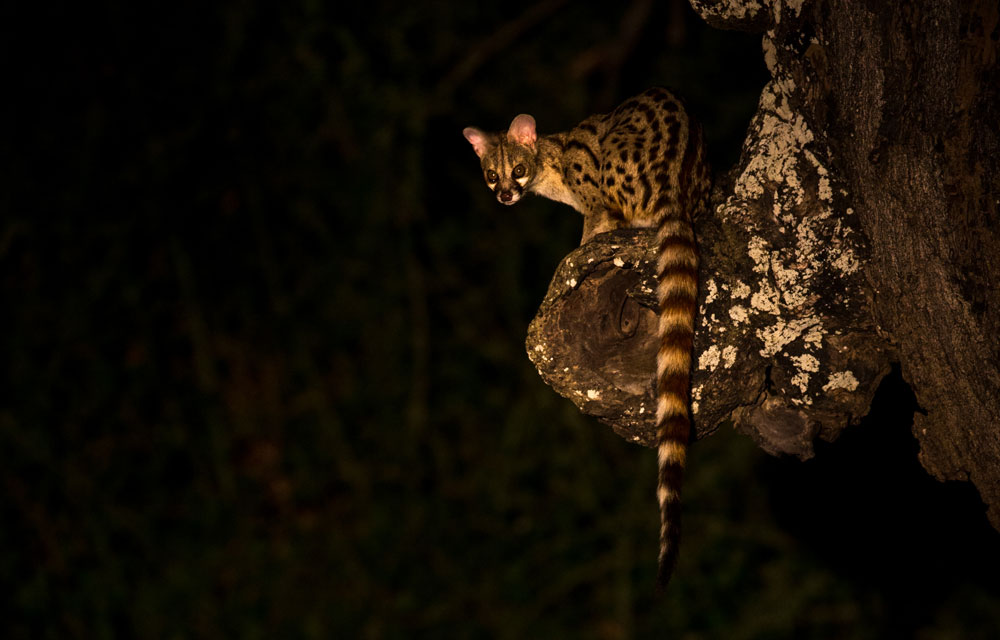 genet-during-a-night-drive