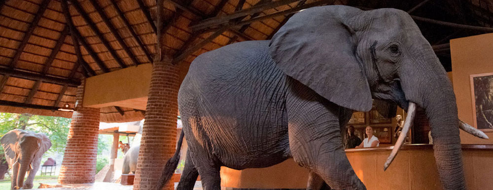 """In November the resident elephant families near Mfuwe Lodge are on the search for succulent wild mango fruits. One particular family takes the most direct route to the mango trees, solemnly walking through reception at Mfuwe to the delight of the guests."