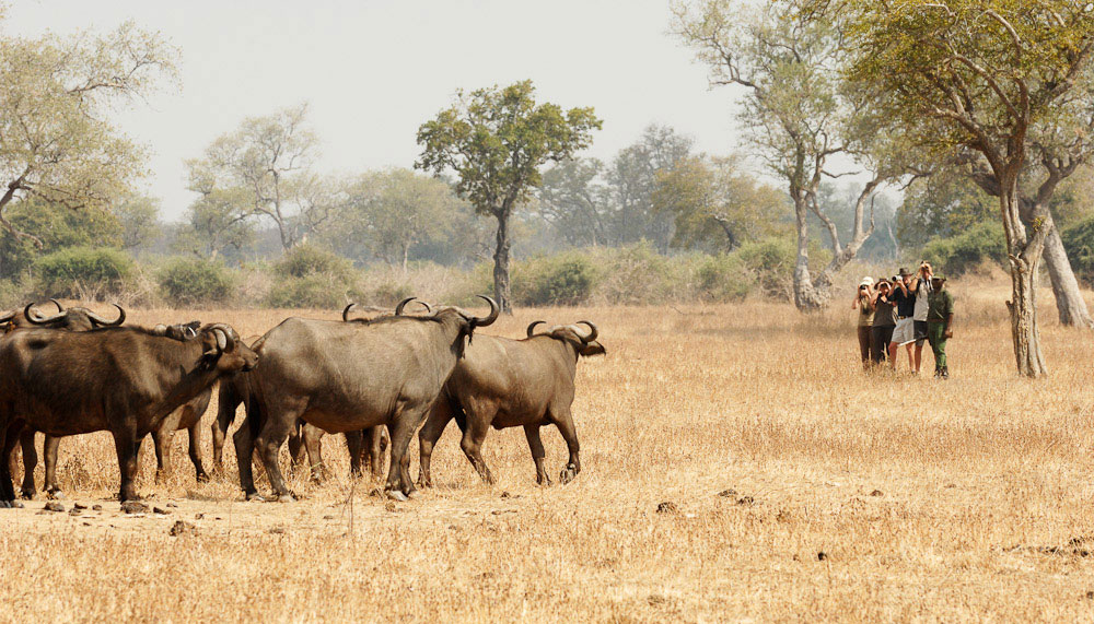 Walking close to large herds of buffalo is a thrilling adventure © Shenton Safaris