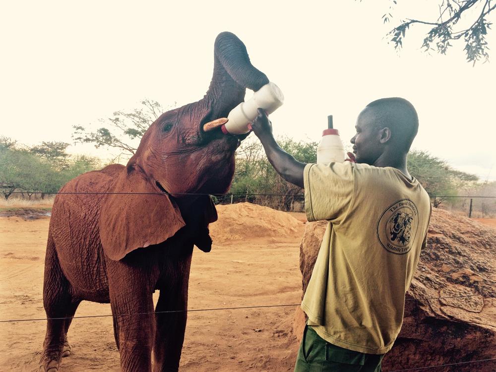 feeding an African elephant