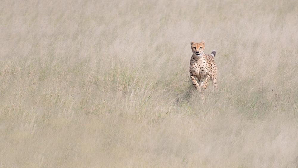 A gorgeous cheetah