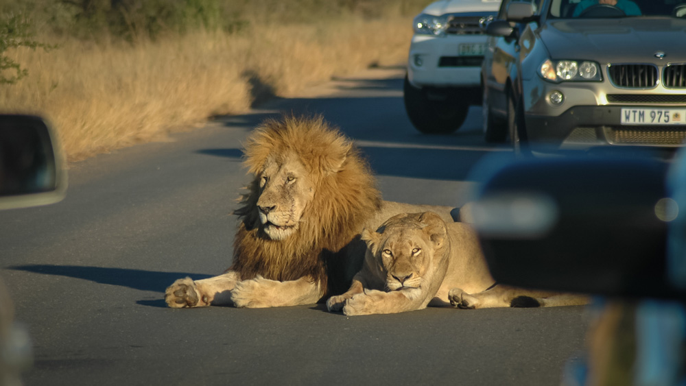 A lion and lioness on the road