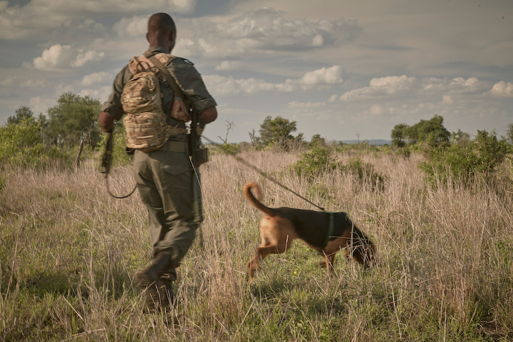 A tracking dog out in the field with its handler in Kruger