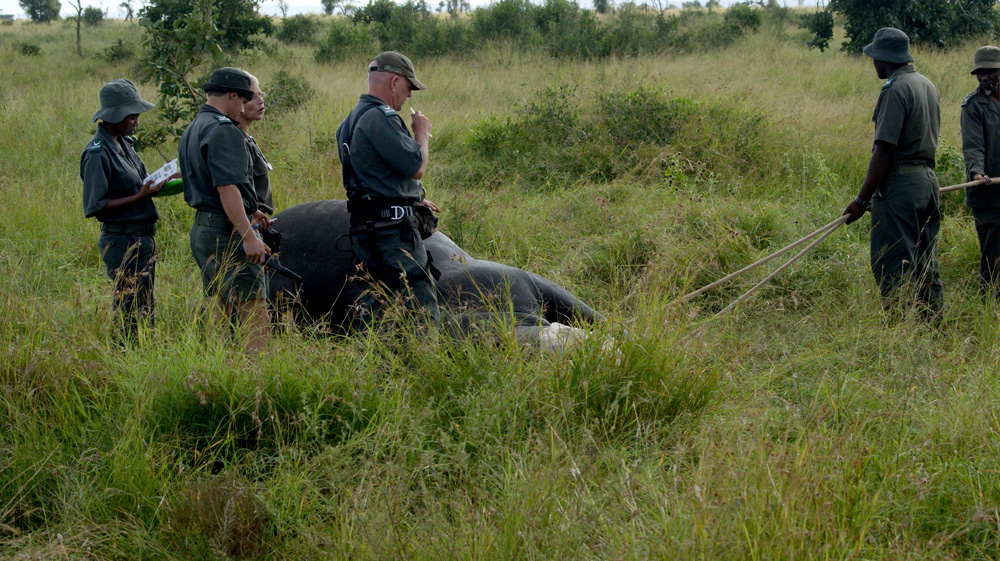 A rhino's condition is monitored during the operation