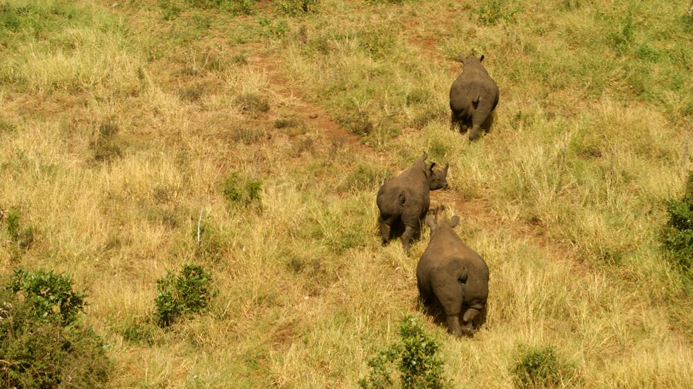 Aerial view of three rhinos